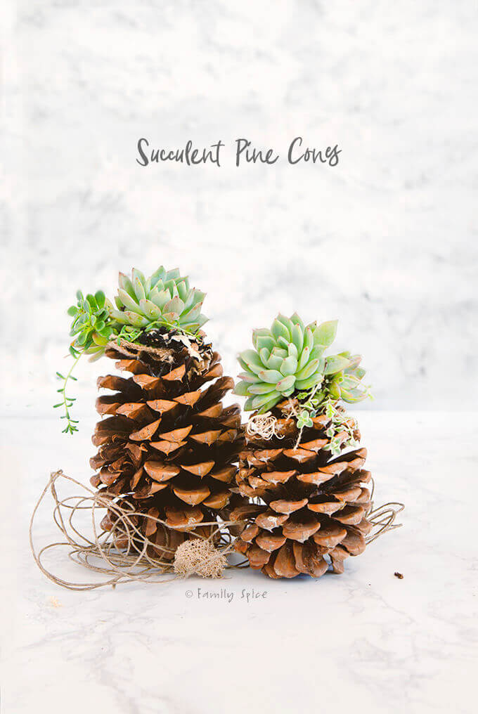 Pinecone Succulents